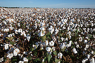 Cotton in the Haynesville Shale region in Northern Louisiana.