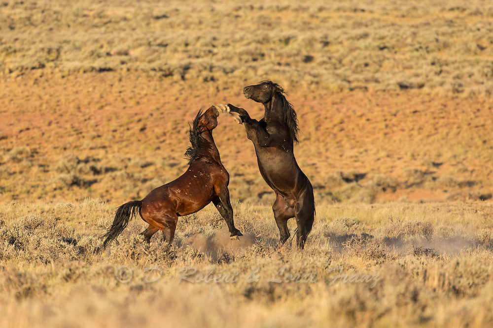 Wild mustang in Wyoming stallions fighting