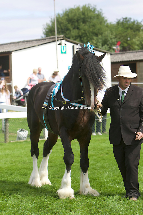 Mr C &amp; Mrs D Braithwaite's 3 yr old Stallion<br />
