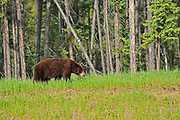 American black bear (Ursus americanus). Cinnamon phase. <br />