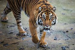 © Licensed to London News Pictures. 03/01/2017. London, UK. Jae Jae the Sumatran Tiger at the London Zoo annual stocktake. Photo credit: Rob Pinney/LNP