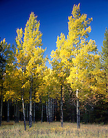 Aspen trees in Fall, Banff National Park Alberta