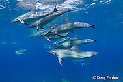 Hawaiian spinner dolphins or Gray's spinner dolphin, Stenella longirostris longirostris, Kona, Hawaii ( Big Island ), USA ( Central Pacific Ocean )