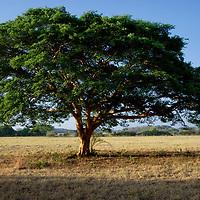 Arbol Samán. El Hato Piñero, ubicado en los llanos centrales de Venezuela, Estado Cojedes; constituye un desarrollo que se caracteriza por el turismo ecológico, donde los visitantes pueden disfrutar de la diversidad de la fauna, las actividades ganaderas y agroindustriales. El Hato Piñero es un retiro para los amantes de la naturaleza, observadores de aves o los viajeros que simplemente buscan paz y tranquilidad. Estado Cojedes. Venezuela. Albizia saman tree. El Hato Piñero, located in the central plains of Venezuela, Cojedes State; It is a development characterized by ecological tourism, where visitors can enjoy the diversity of fauna, livestock and agroindustrial activities. El Hato Piñero is a retreat for nature lovers, birdwatchers or travelers who simply seek peace and tranquility. Cojedes State. Venezuela.