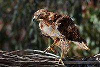 I got a great Red-tailed Hawk photo by shooting  at an angle that highlighted the side lit bird of prey against a dark forest background.