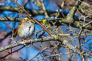 White-throated Sparrow - Zonotrichia albicollis sitting on a branch