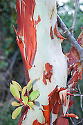 Israel, Red Barked Strawberry Tree (Arbutus andrachne)