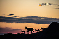 Bighorn ewes with lambs silhoutted against sunset sky in Badlands National Park, South Dakota, USA