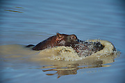 Hippopotamus (Hippopotamus amphibius)<br /> Marataba, A section of the Marakele National Park<br /> Limpopo Province<br /> SOUTH AFRICA<br /> RANGE: Formerly all over Africa. Now absent from far north and south of range.