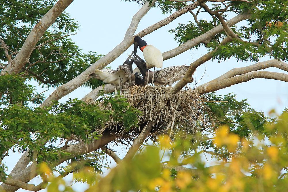 Jabiru (Jabiru mycteria) feeding offspring in nest. Tropical dry forest, Palo Verde National Park, Guanacaste, Costa Rica.