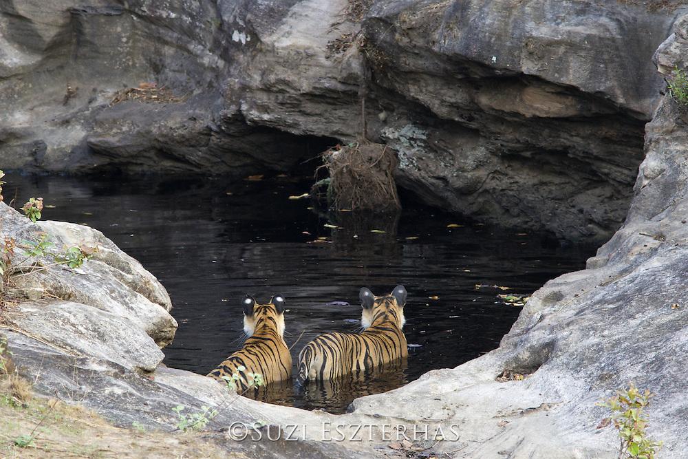 Tiger <br /> Panthera tigris<br /> 18 month old cub(s) at waterhole<br /> Bandhavgarh National Park, India<br /> *Endangered species