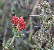 Flowers on the Desert Christmas Cactus (Cylindropuntia leptocaulis), southern Arizona, USA