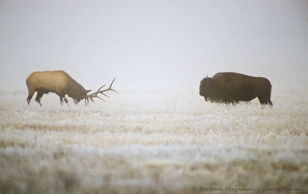 Bull Elk [Cervus elaphus] in rut confronts bison on foggy snowy morning; Yellowstone National Park, Wyoming
