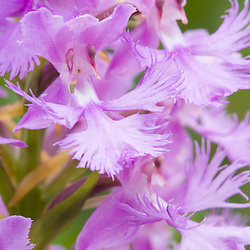 A purple-fringed orchid, Habenaria psycodes, in bloom.  Scotts Bog, Pittsburg, New Hampshire.  Connecticut River Headwaters region.
