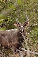 Male Nyala South Africa