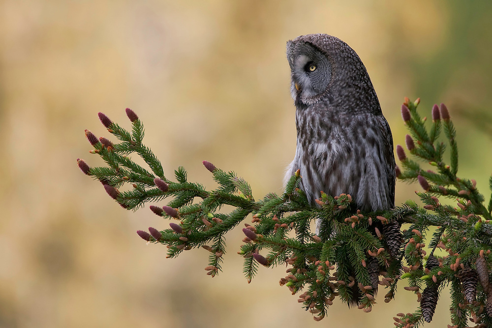 Great grey owl (Strix nebulosa) in spruce tree, Bergslagen, Sweden.
