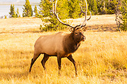 Bull Elk in Autumn Meadow