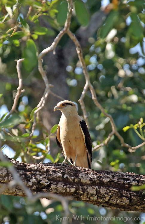South America, Brazil, Pantanal.  The Yellow Headed Caracara perched in a tree at the Pantanal.