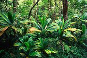 Ti plant, Hawaii<br />