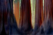 Giant Sequoias, Mariposa Grove, Yosemite National Park, California  2007