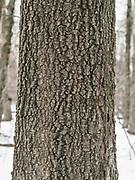 East Fishkill walk. Mesmerizing bark.