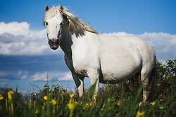 A white horse of the Camargue (Equus ferus caballus) standing in a in a field of yellow lilies, Le Camargue, Provence, France