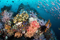 An arc of Fusiliers swims over a colorful coral head<br /> <br /> Shot in Indonesia