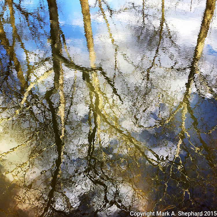Birch trees are reflected in the Mill Race in Goshen, Indiana on April17, 2015. (Photo by Mark A. Shephard)