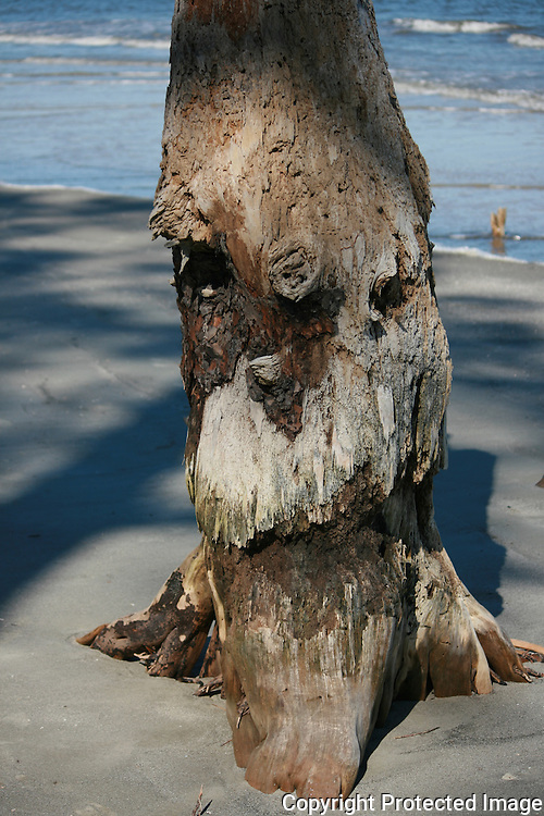 A dead tree stump sticking out of the sand on a Jekyll Island Georgia beach that resembles the face of a grizzled old man.