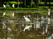 18 JULY 2016 - UBUD, BALI, INDONESIA:    Egrets pick insects out of recently tilled rice field near Ubud. Rice is an integral part of the Balinese culture. The rituals of the cycle of planting, maintaining, irrigating, and harvesting rice enrich the cultural life of Bali beyond a single staple can ever hope to do. Despite the importance of rice, Bali does not produce enough rice for its own needs and imports rice from nearby Thailand.    PHOTO BY JACK KURTZ