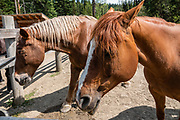 Horses at Barkerville Historic Town & Park, British Columbia, Canada. Historically the main town of the Cariboo Gold Rush, Barkerville is now the largest living-history museum in Western North America. The town was named after Billy Barker from Cambridgeshire, England, who struck gold here in 1861, and his claim became the richest and the most famous. This National Historic Site nestles in the Cariboo Mountains at elevation 1200m (4000ft), at the end of BC Highway 26, 80 kilometres (50 mi) east of Quesnel. Gold here was first discovered at Hills Bar in 1858, followed by other strikes in 1859 and 1860. Wide publication of these discoveries in 1861 began the Cariboo Gold Rush, which reached full swing by 1865 following strikes along Williams Creek.