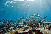 A Grey Reef, Carcharhinus amblyrhynchos, Black tip Reef, Carcharhinus melanopterus, and White tip Reef Shark, Triaenodon obesus,  swim in the shallows of Shark Reef, a marine protected zone in Beqa Lagoon, Pacific Harbor, Viti Levu, Fiji.