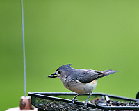 Tufted Titmouse at the Bird Feeder. Image taken with a Nikon D4 camera and 600 mm f/4 VR lens