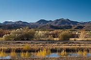 NEW MEXICO: Socorro Co.<br /> Bosque Del Apache National Wildlife Refuge<br /> 24-Nov-2011  N33.79970 W106.88860<br /> J.C. Abbot &amp; K.K. Abbott