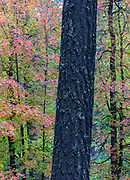 Pine trunk and sawtooth maples in autumn, Mt. Lemmon.