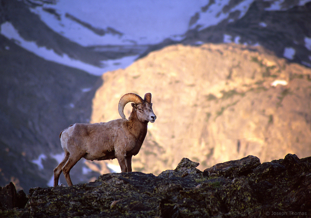 I found this increasingly rare Colorado icon high up in Rocky Mountain National Park. The population of the official state mammal has been on the decline for years due to competition from non-native mountain goats and from habitat fragmentation.