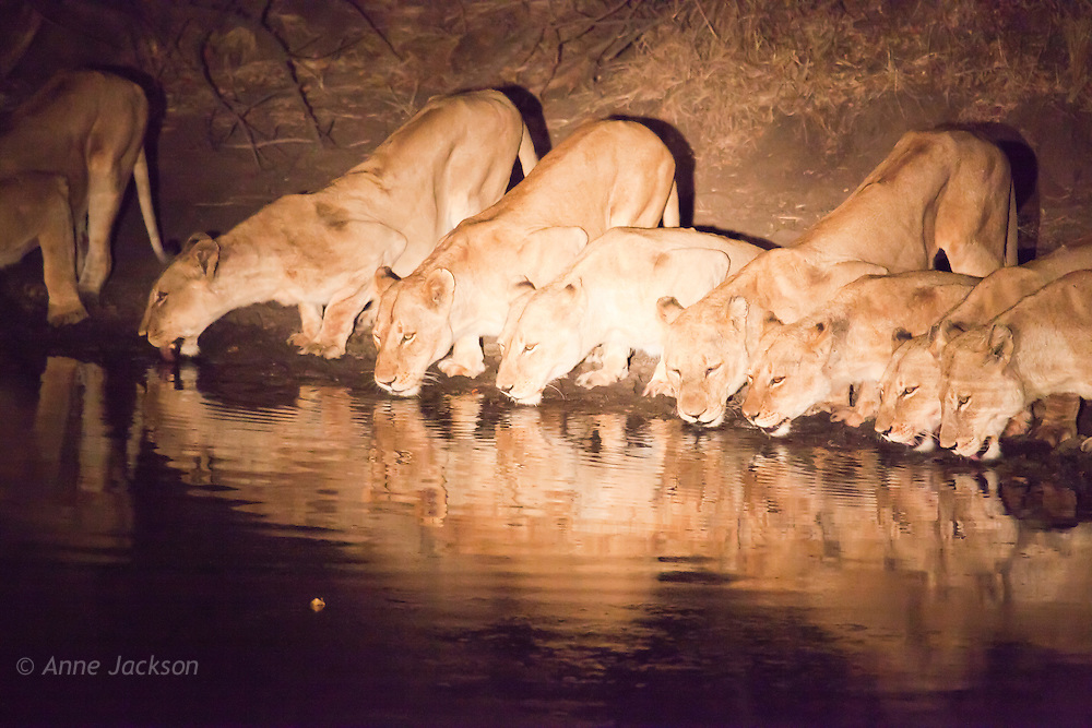 The pride at the waterhole