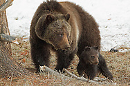 Mother grizzlies are fierce protectors of their young. This Increased aggressiveness assists female grizzlies in ensuring the survival of their young to adulthood. Mothers defending cubs are the most prone to attacking humans, being responsible for more than 70% of all fatal injuries.