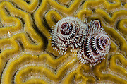 Christmas Tree Worm (Spirobranchus giganteus) on Grooved Brain Coral (Diploria labyrinthiformis)<br /> BONAIRE, Netherlands Antilles, Caribbean<br /> HABITAT & DISTRIBUTION: Shallow & mid-range coral reefs, walls and rocky areas. <br /> Florida, Bahamas & Caribbean.