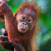 Adorable baby orangutan supported by its mother's arm, Gunung Leuser National Park, Indonesia, 2015
