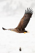 JAPAN, Eastern Hokkaido.White-tailed sea eagle (Haliaeetus albicilla) in flight