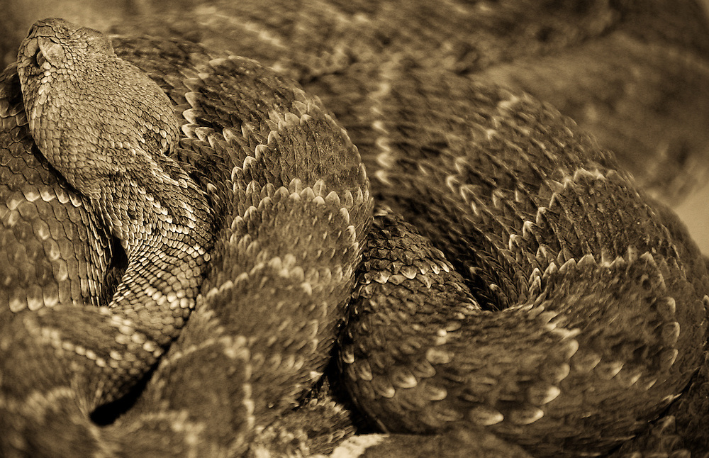 Western Diamondback rattlesnakes slither over each other at the 47th annual Worlds Largest Rattlesnake Round-up at the Nolan County Coliseum in Sweetwater, Texas, on Friday, March 11, 2005.   The Western Diamondback, a member of the Pit Viper family, gets its name from diamond-shaped markings that run along its body.  Hunters around West Texas collect these rattlesnakes year-round to cash them in on the second weekend in March in Sweetwater.  Snake hunters must to have a hunting license from the Texas Parks and Wildlife Department.
