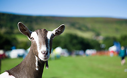 © Licensed to London News Pictures.15/08/15<br /> Rosedale, UK. <br /> <br /> A goat looks out from its pen during the Rosedale Country Show. This mainstay annual event remains as popular as ever attracting visitors and entrants from across the region.<br /> <br /> Photo credit : Ian Forsyth/LNP