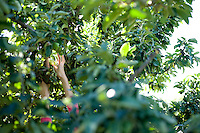 A woman reaches to pick an apple out of a tree wearing a pink shirt. Her hand is visible reaching for the apple.