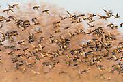 Mallards, Anas platyrhynchos, Bosque del Apache NWR, New Mexico