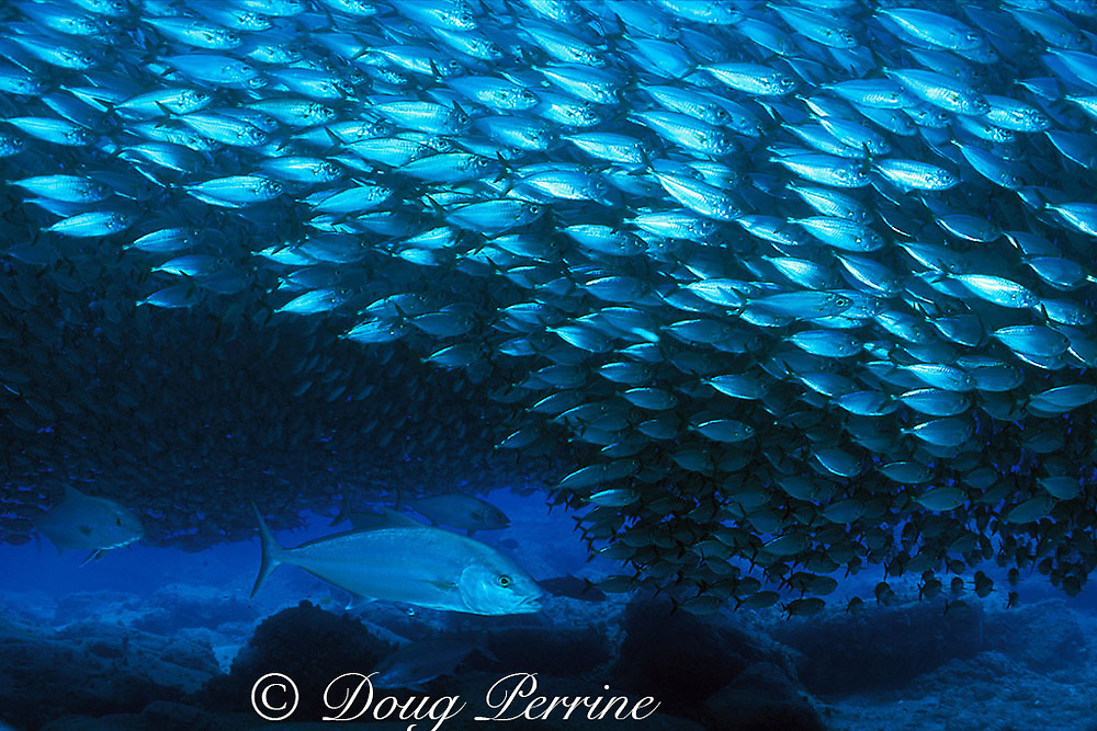 amberjacks or kahala, Seriola dumerili attack school of bigeye scad, Selar crumenophthalmus or akule<br /> Kona, Hawaii, USA ( Pacific )
