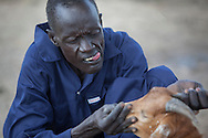 Buoi Machiek, Community Health Livestock Worker, gives some goats a check up in Bor County, South Sudan. The Jonglei Food Security Program, JFSP, in Jonglei, South Sudan provideds Machiek with regular training. The JFSP aims to address the root causes of hunger in Jonglei State with cross-cutting programming that incorporates disaster risk reduction into the agriculture, livelihoods and income generation interventions. The JFSP targets highly vulnerable families, organizing them into farmer producer groups to disseminate information about new and sustainable technologies for increasing crop production and improving livelihoods. <br />