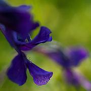 Pinguicula vulgaris, the Common butterwort