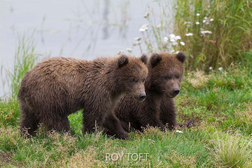 Portrait of two juvenile brown bears, Katmai National Park, Alaska