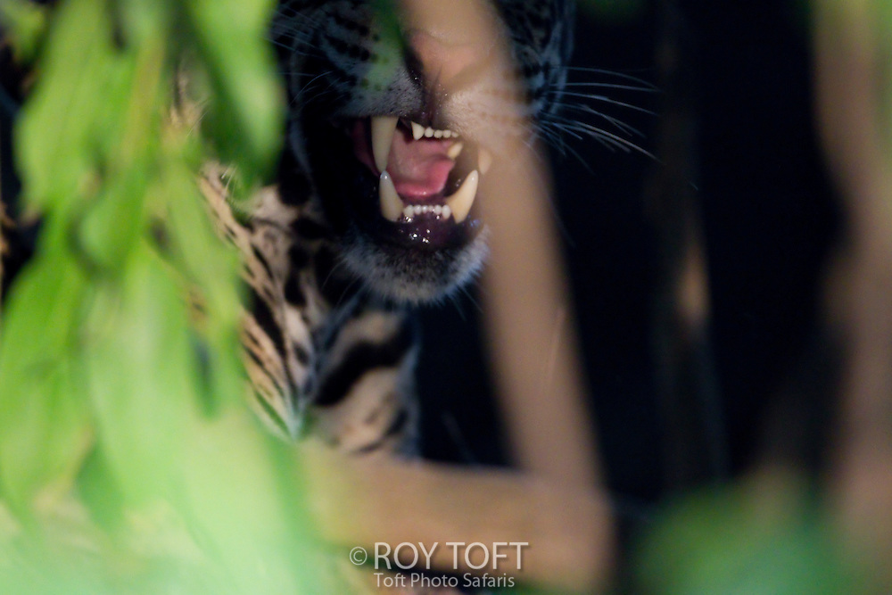 Close-up of a wild Jaguar growling, Pantanal, Brazil
